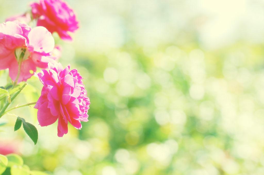 玉ボケ、花の写真をかわいく撮ろう、エアリーな雰囲気
