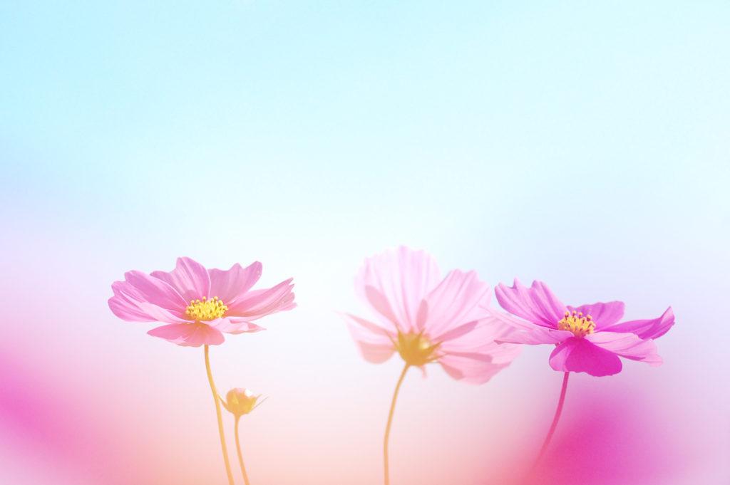 おさんぽカメラ、デジタル一眼・ミラーレス一眼カメラで花の写真、コスモスを撮影