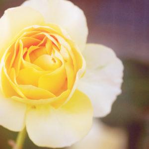 薔薇を撮影 デジタル一眼レフカメラ NIKON ニコンを使用