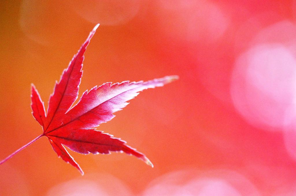 タムロン60mmマクロ 紅葉 作例画像