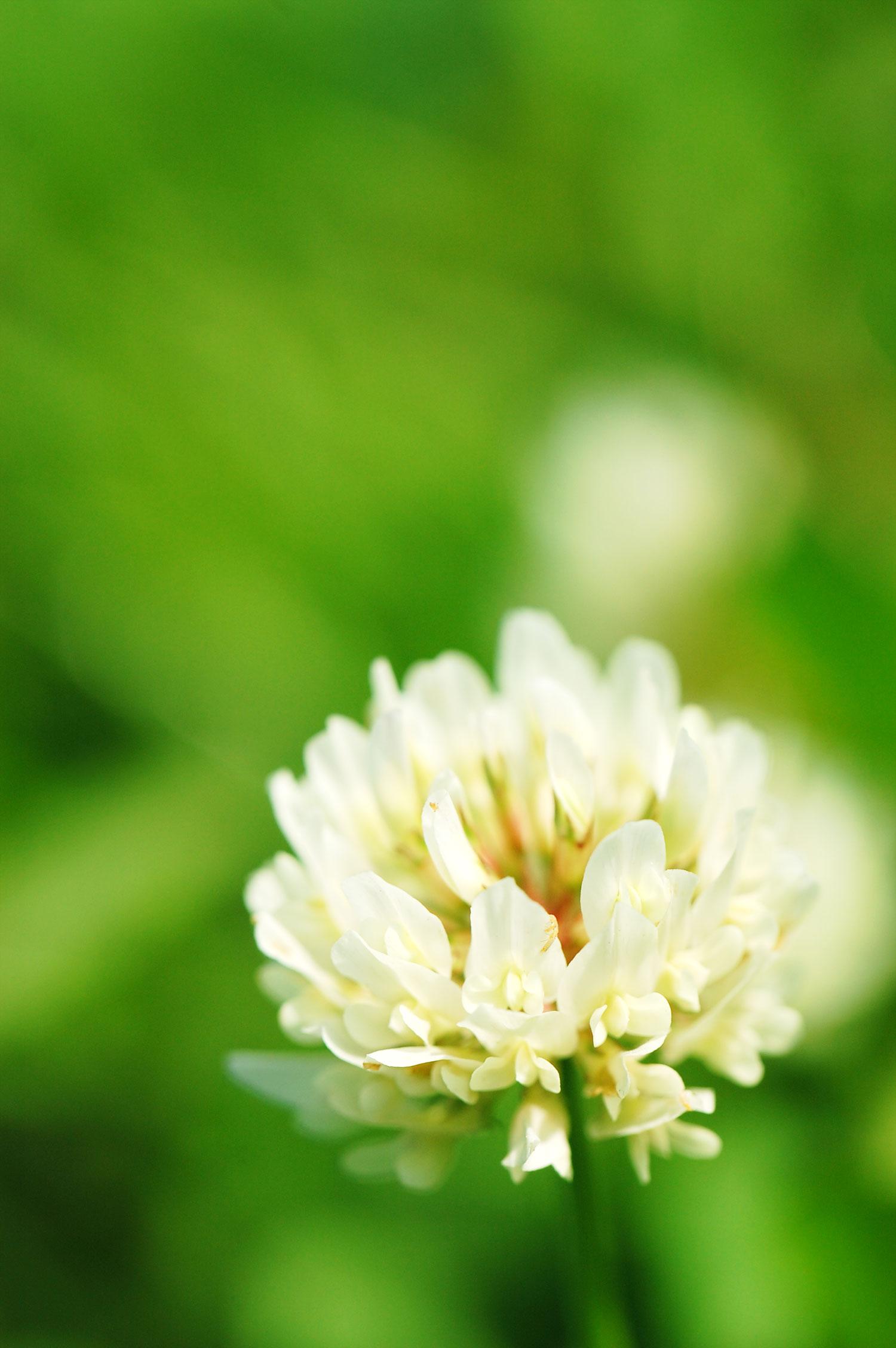 緑の中に咲くシロツメクサをNikonデジタル一眼レフカメラで撮影