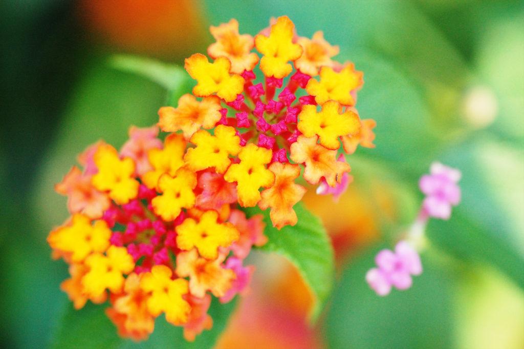 ランタナ 花写真をデジタル一眼で撮影 マクロレンズ使用
