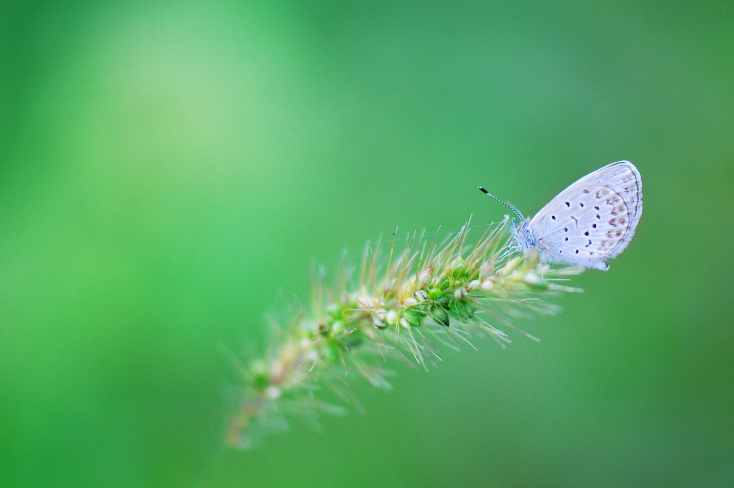 シジミ蝶 Nikonデジタル一眼レフで撮影 マクロレンズを使用