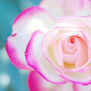 マクロレンズで撮影したバラの写真 デジタル一眼教室