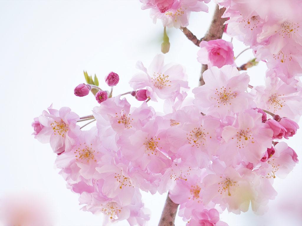 しだれ桜 ミラーレスカメラで撮影