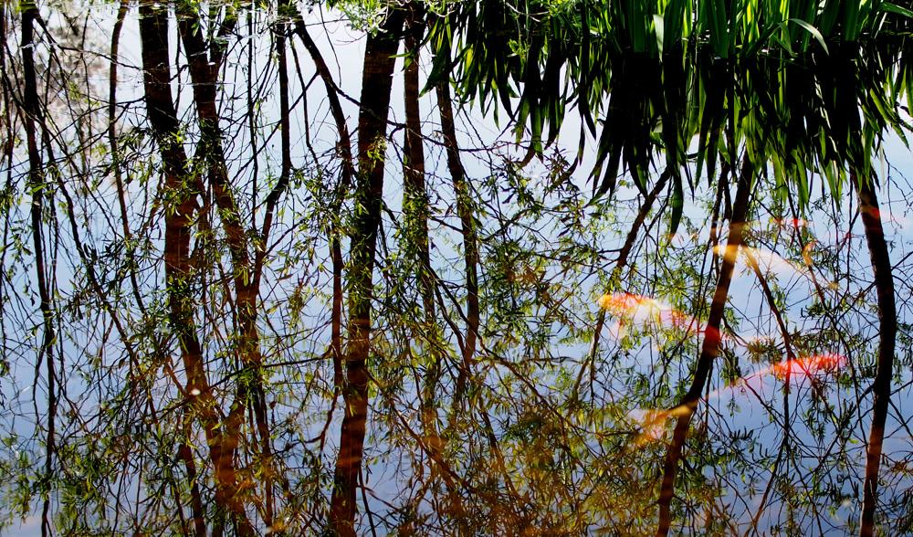 池に移りこむ木々と鯉 OLYMPUS ミラーレス一眼 単焦点レンズで撮影