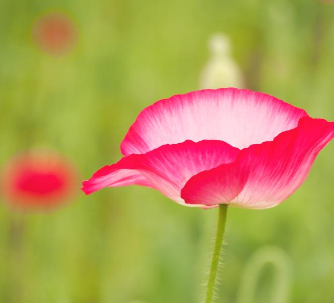 花フェスタ記念公園でミラーレス一眼で撮影 シャーレーポピー