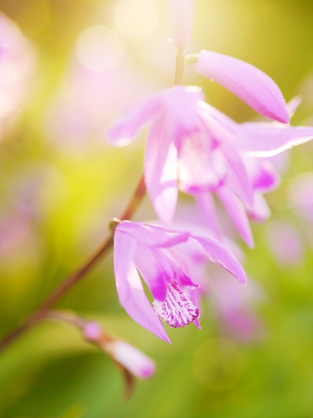 紫蘭 ミラーレス一眼で撮影