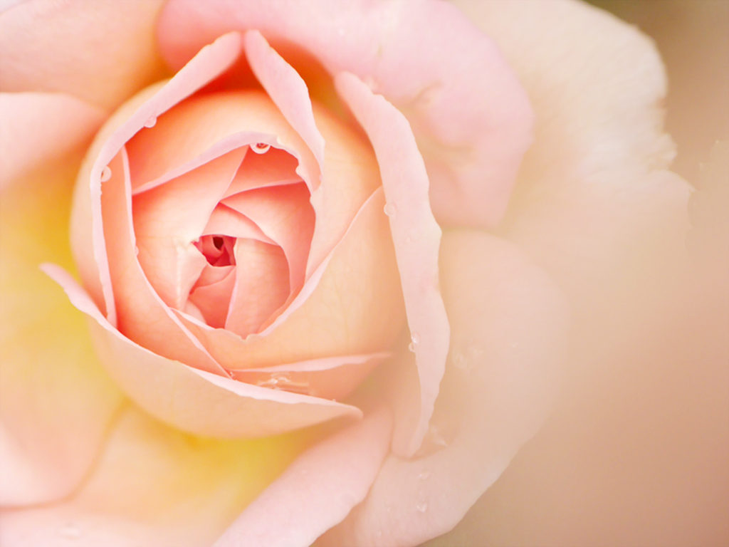 バラとしずく マクロ撮影