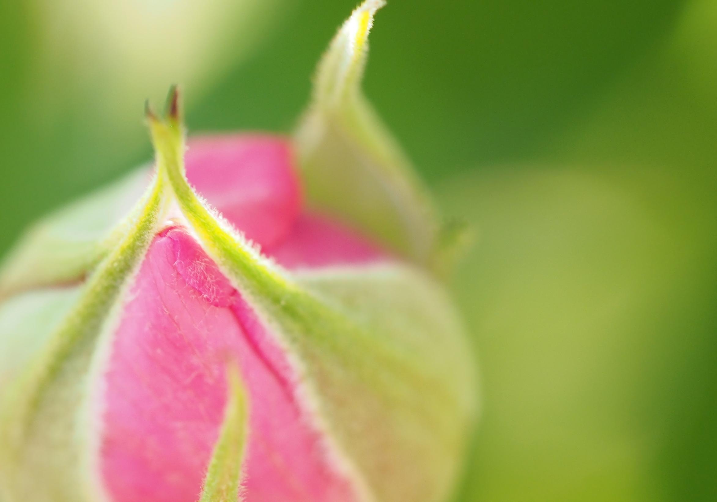 OLYMPUS DIGITAL CAMERA バラのつぼみ 花フェスタ記念公園