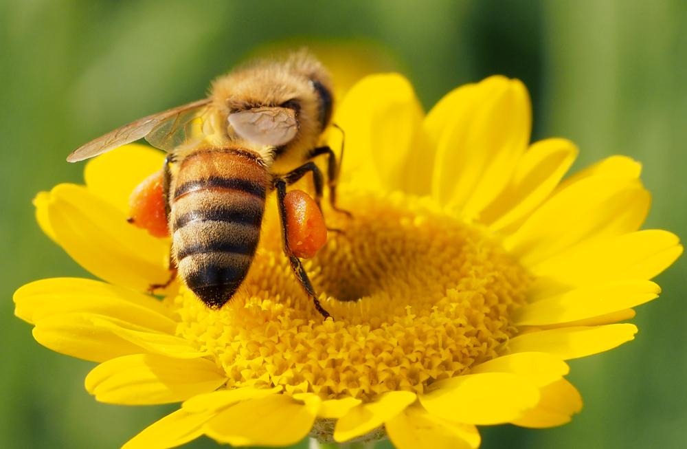 OLYMPUS DIGITAL CAMERA マクロレンズを使用 みつばち 花粉だんご
