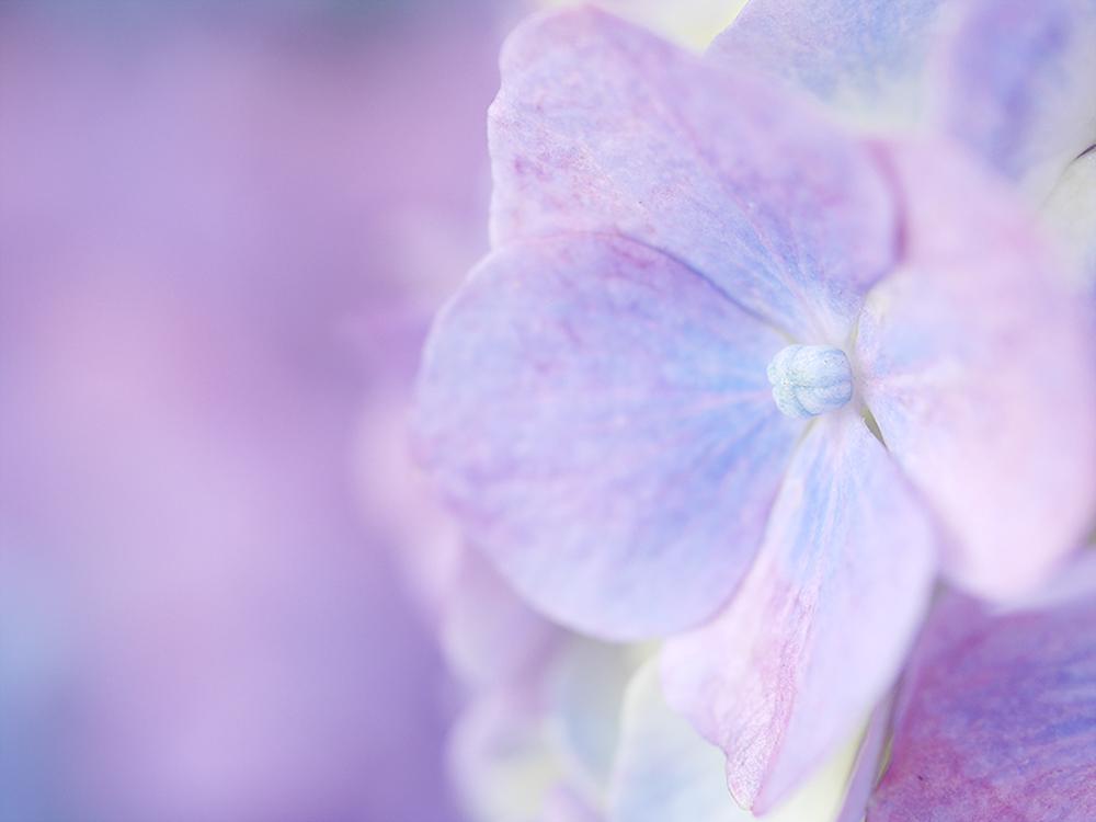 紫陽花 ミラーレス一眼で撮影 岐阜