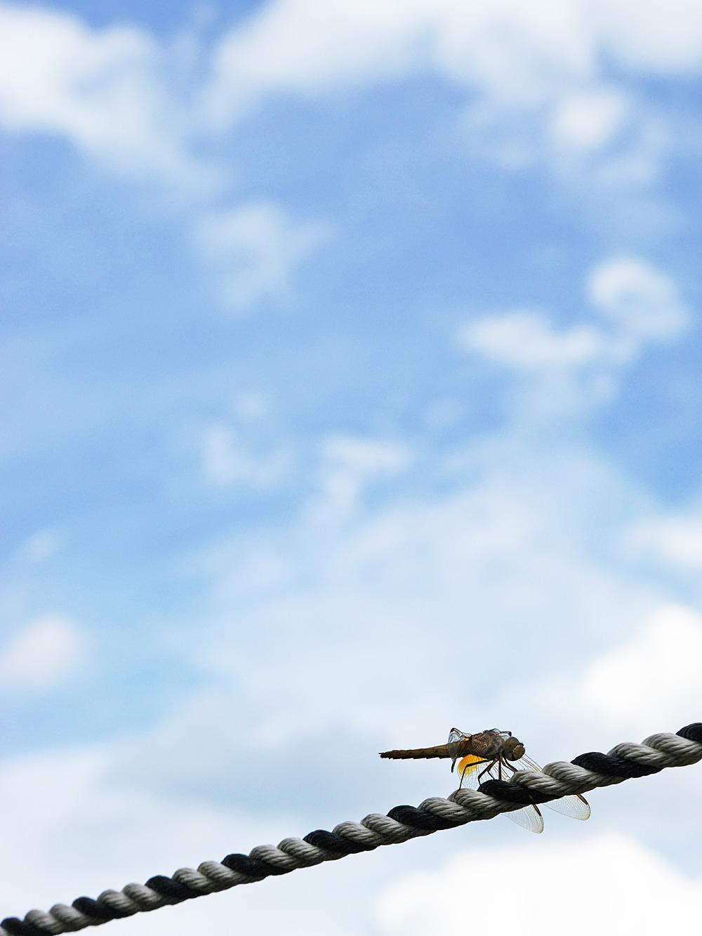 青空を背にするトンボの写真