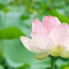 第68話 蓮の花を撮る
