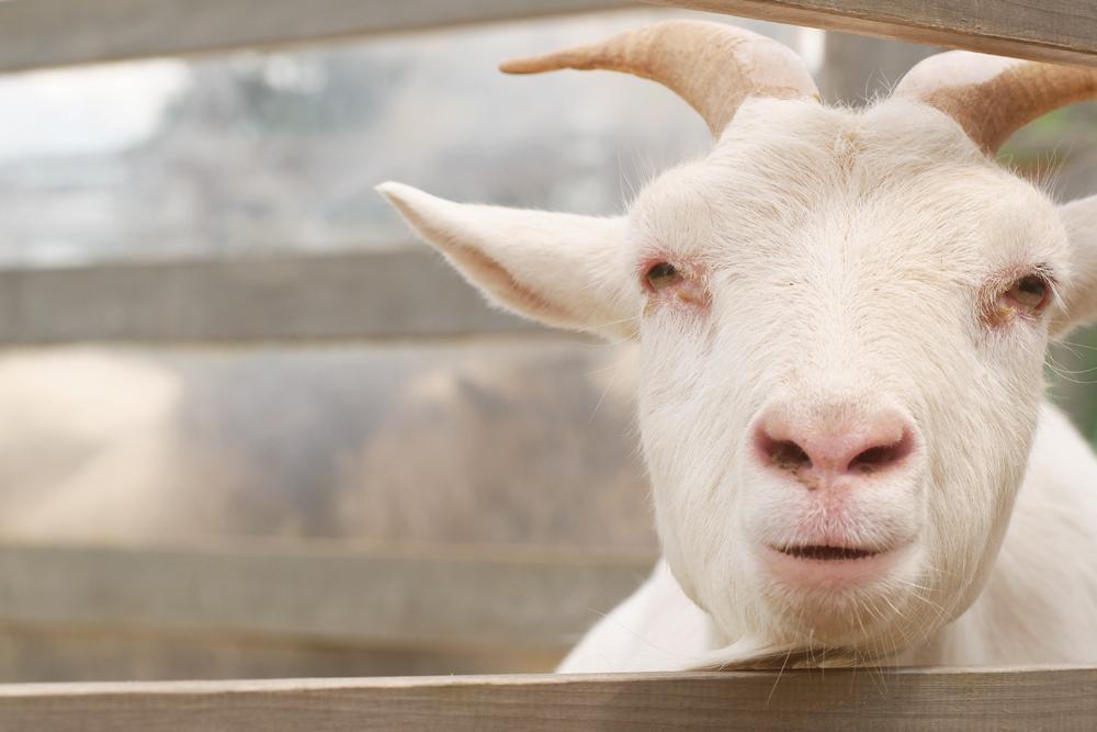 OLYMPUS DIGITAL CAMERA 日本昭和村でヤギを撮る