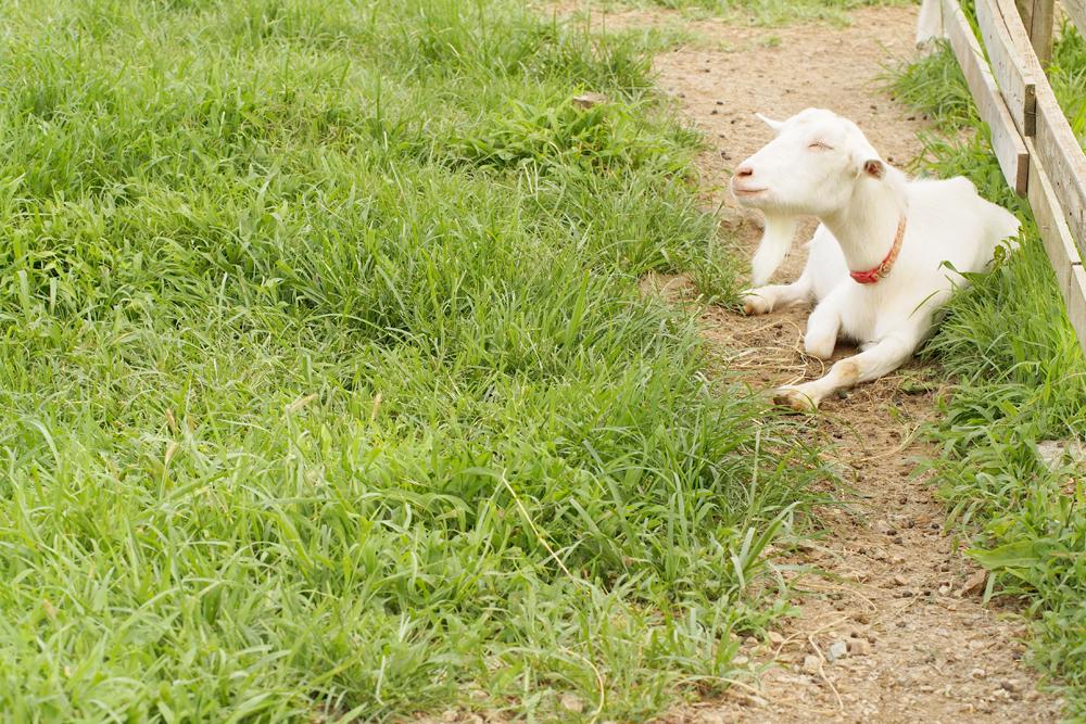 OLYMPUS DIGITAL CAMERA 牧場でヤギを撮る