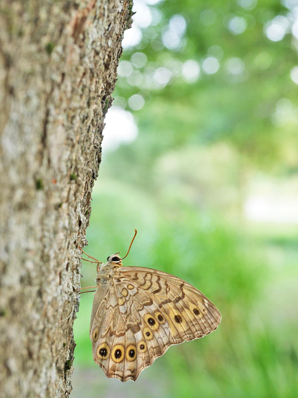 サトキマダラヒカゲ 木にとまるチョウチョ