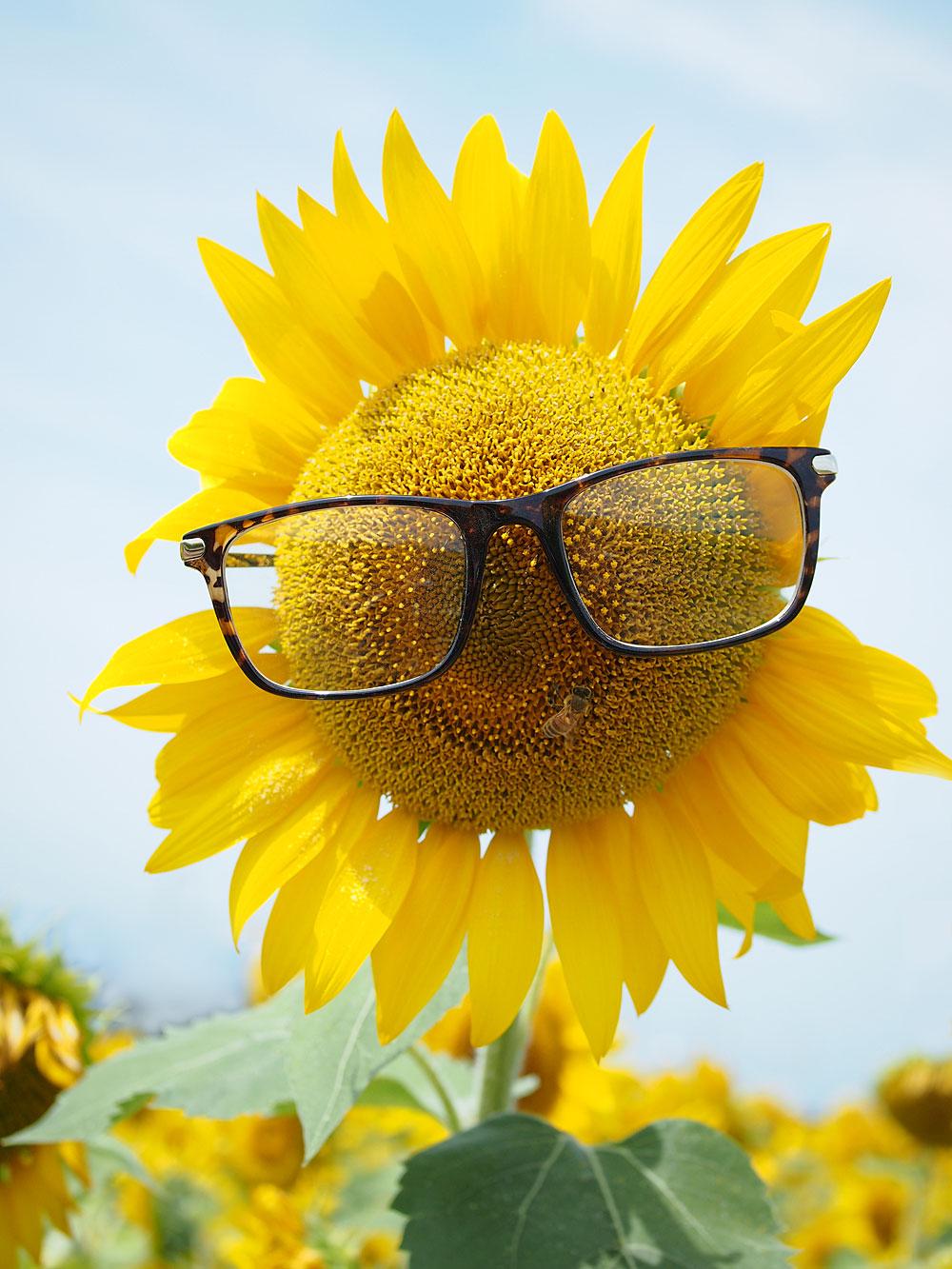 ミディアムアングル 作例画像 メガネをかけたひまわり