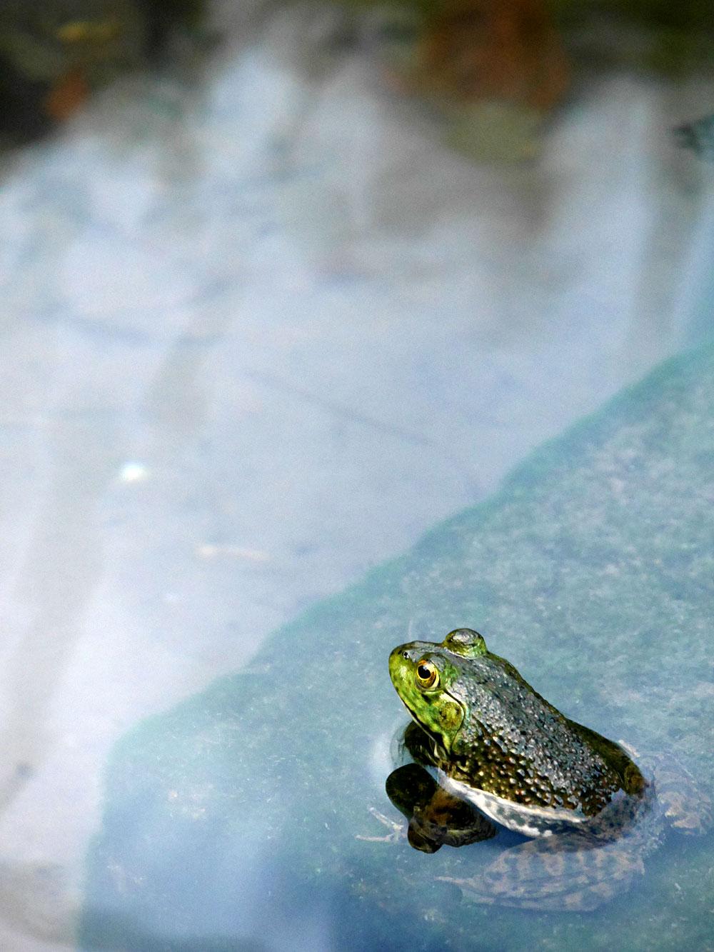 望遠レンズでウシガエルを撮影 画像