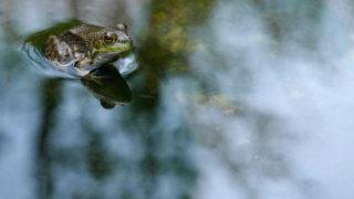 第83話 日本最古のカレーは「カエル入り」。カエルカレーの謎