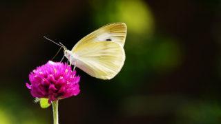 第84話 モンシロチョウが好きな花