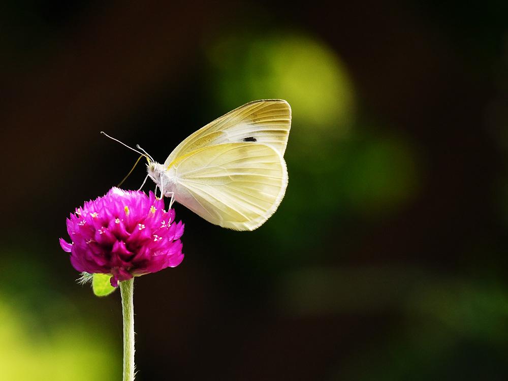 センニチコウの蜜を吸うモンシロチョウ ミラーレス一眼で撮影 岐阜