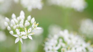 第85話 白い星のような花~ニラ~
