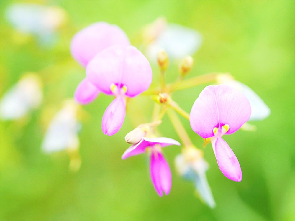 アレチヌスビトハギの花 ミラーレス一眼で撮影 岐阜