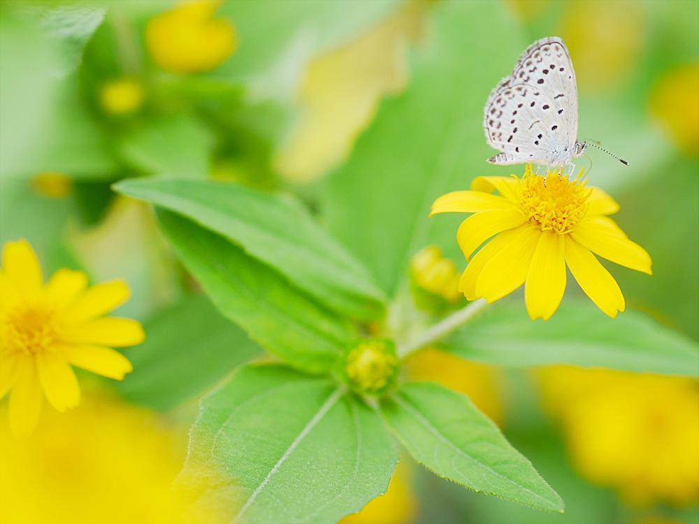 蝶とメランポジウム マクロ撮影