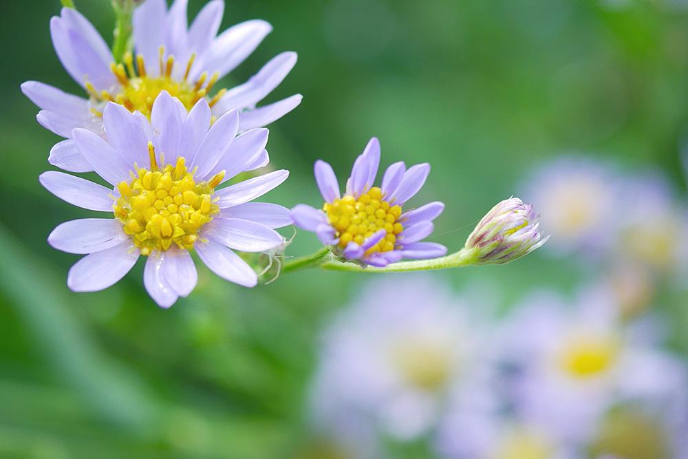 シオン(紫苑) ミラーレス一眼で撮影 岐阜