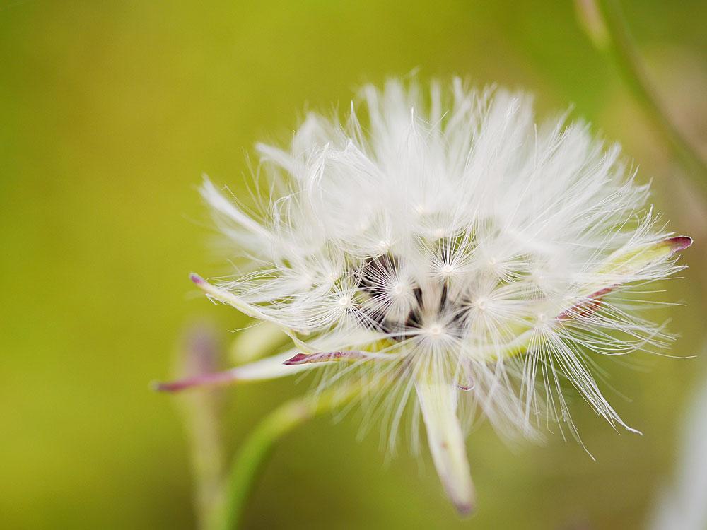 アキノノゲシの種子