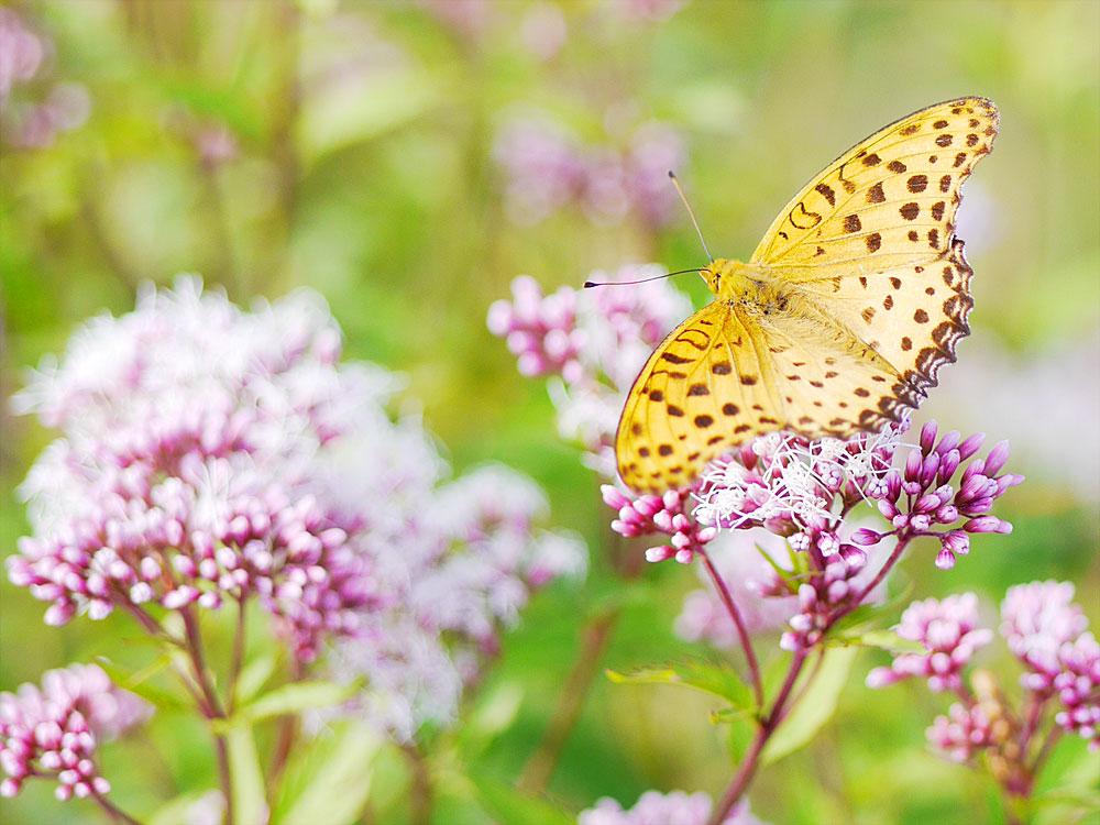 蝶とフジバカマ クローズアップ撮影