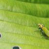 第98話 黄色い頭に黒い斑点 バナナムシことツマグロオオヨコバイ