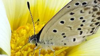 ガザニアとシジミ蝶