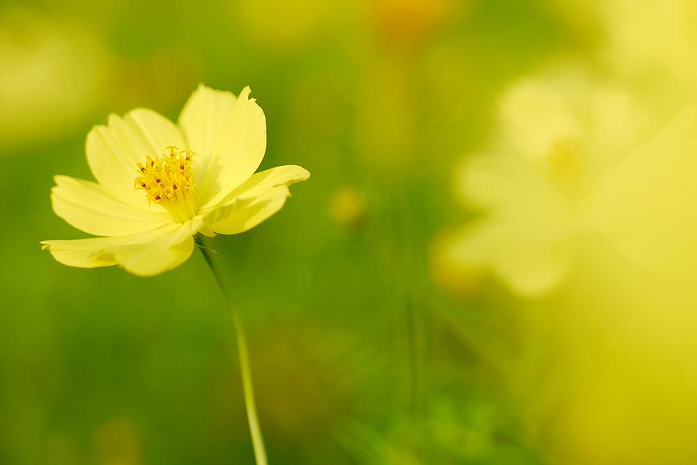 黄色いコスモス パナソニック単焦点レンズで撮影 岐阜