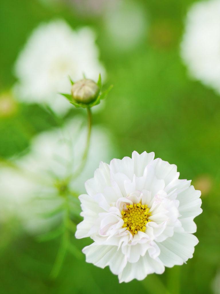 白い八重咲きコスモス ミラーレス一眼で撮影 岐阜