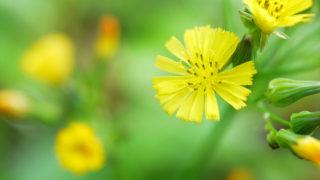 第120話 小さなタンポポのような花~オニタビラコ~