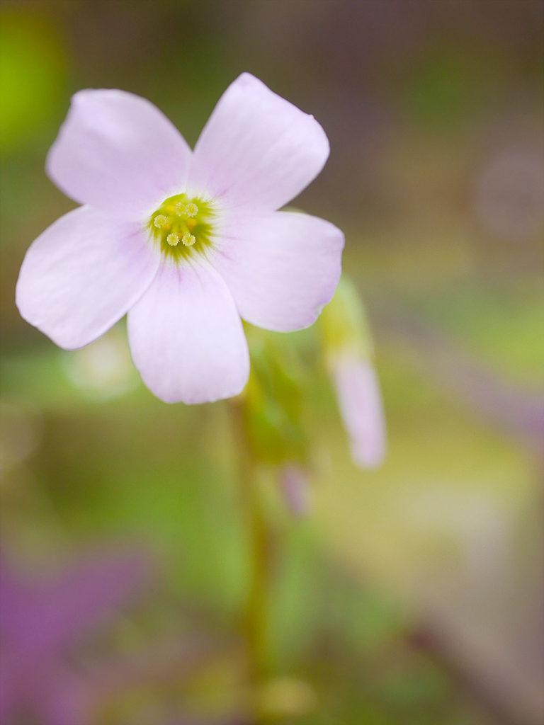 オキザリス・トリアングラリスの花 ミラーレス一眼で撮影 岐阜