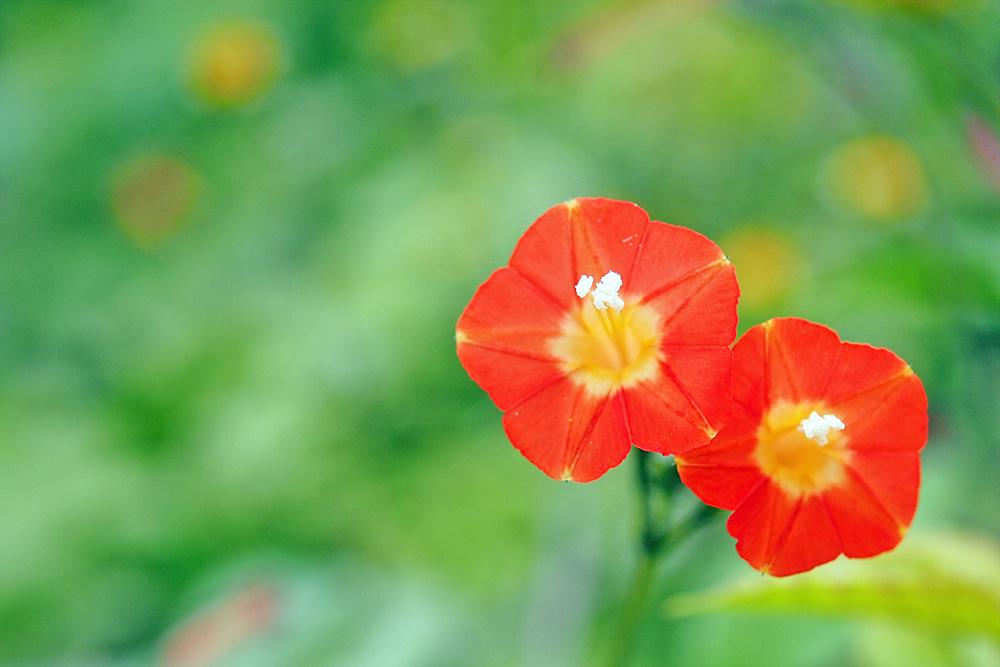 マルバルコウ(丸葉縷紅) ミラーレス一眼で撮影 岐阜