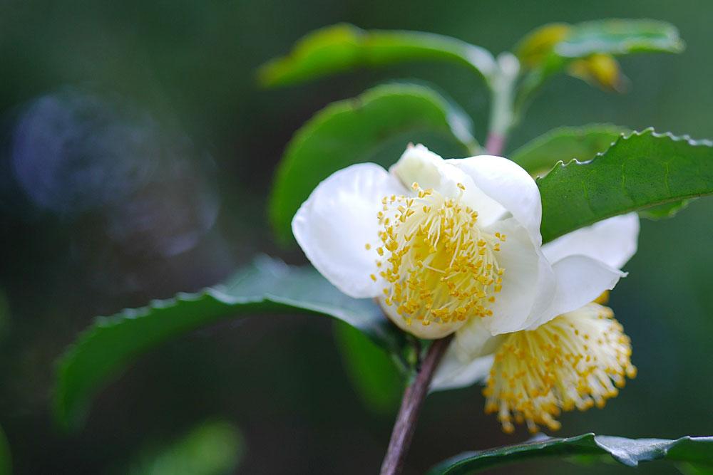 チャノキ(茶の木)の花 ミラーレス一眼で撮影 岐阜