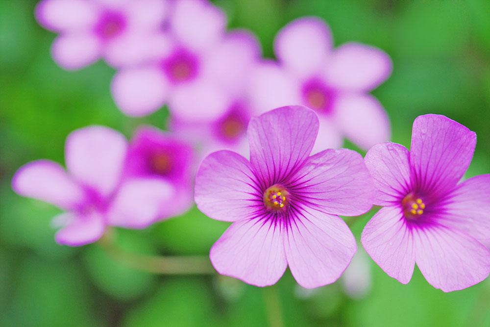イモカタバミの花 ミラーレス一眼で撮影 岐阜