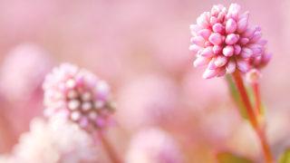 第138話 ピンクの金平糖~ヒメツルソバ~