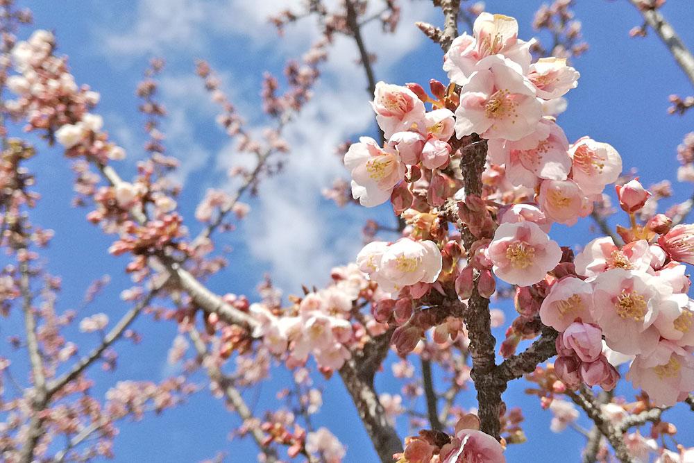 寒桜(カンザクラ)をスマホで撮影 スマホ写真