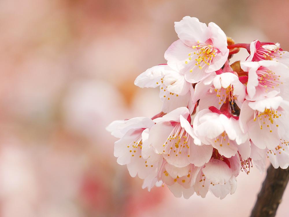 寒桜を望遠レンズで撮影 岐阜