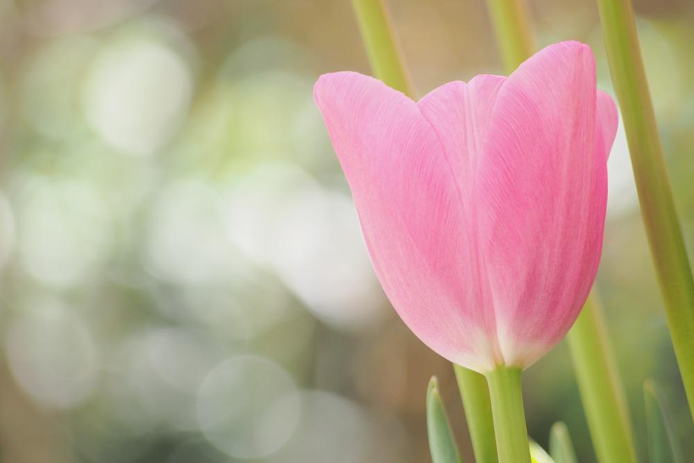 ピンクのかわいいチューリップ