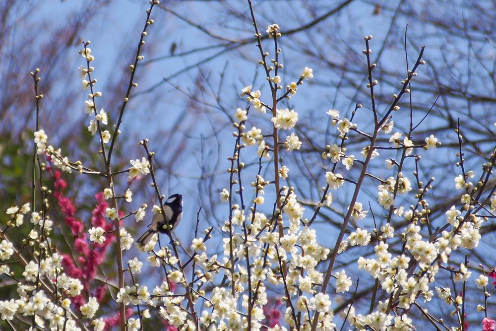 梅とシジュウカラ 春のあしおと