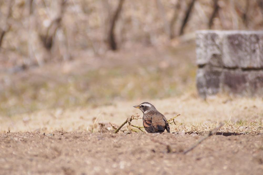 ツグミ 冬鳥