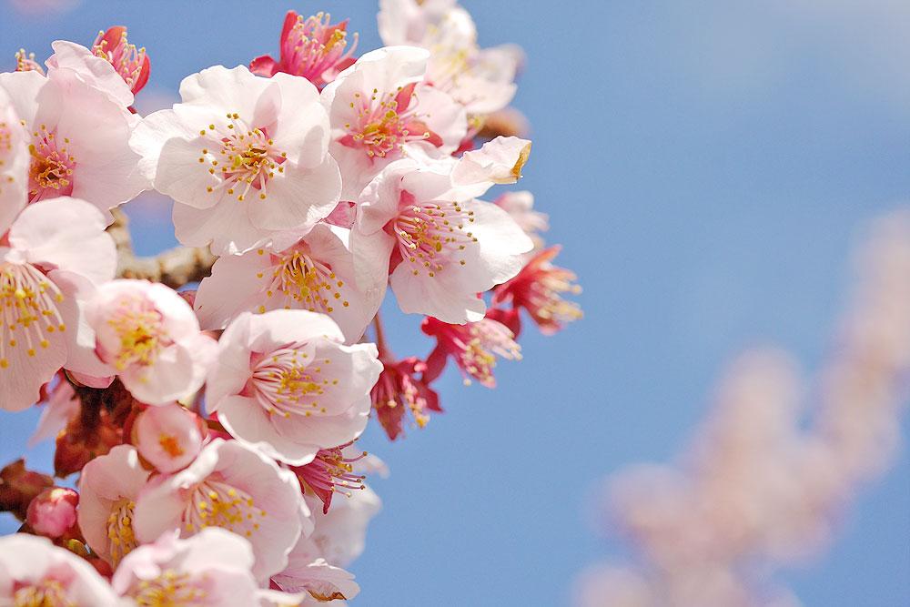青空と寒桜 マクロレンズで撮影 岐阜