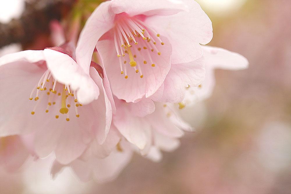 マクロレンズで撮影した寒桜 岐阜