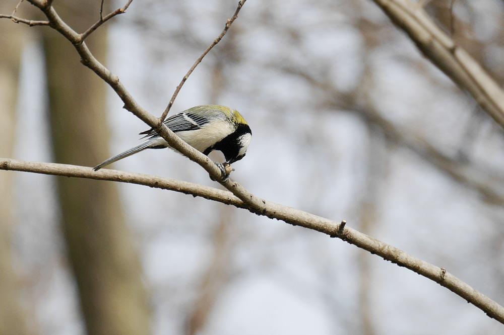 木をつつくシジュウカラ ミラーレス一眼で撮影 岐阜